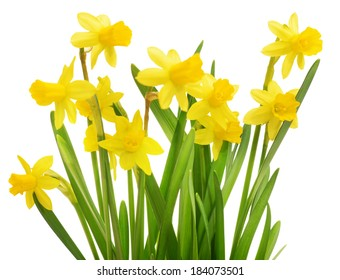 daffodils, flowers isolated on white background