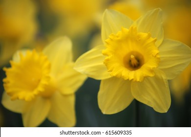 Daffodils in full bloom at springtime Easter