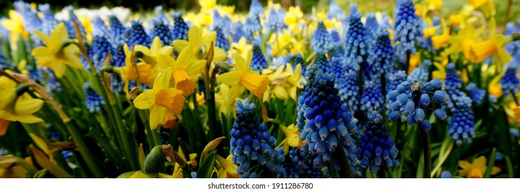 Daffodils and grape hyacinths are always a good combination. It's spring. Yellow narcissus. Blue muscari.