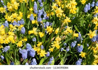 Daffodils and Grape Hyacinths, Muscari