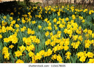Daffodils grow in a spring garden.
