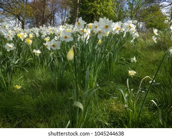Daffodils growing wild in the forest