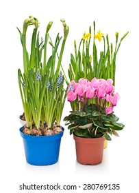 Daffodils, hyacinths and cyclamen in flower pots on white background