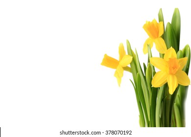 Daffodils isolated on white background spring flowers