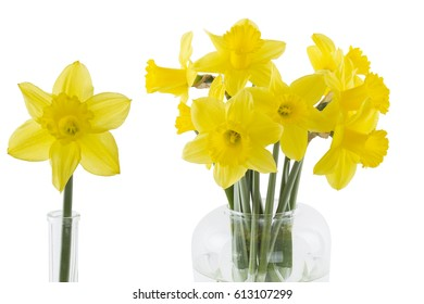 Daffodils isolated on white background