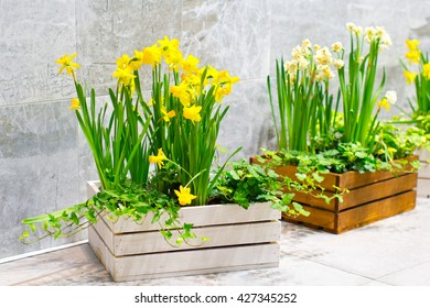 Daffodils and ivy in wooden boxes ready for planting