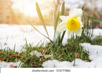 Daffodils in the late spring snow