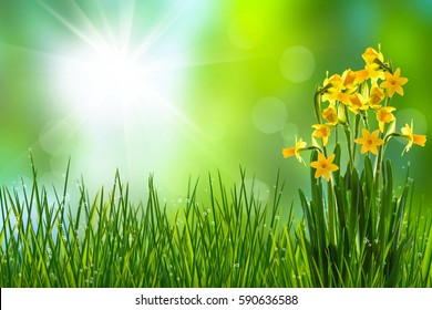 daffodils in meadow in spring time