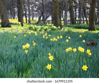 Daffodils meadow in the woodland