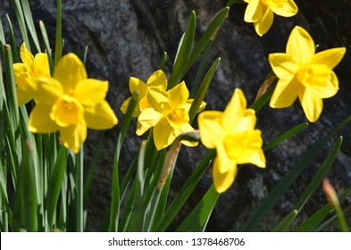 Daffodils are the most popular spring flowers.