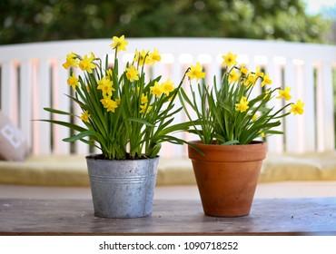 Daffodils on porch