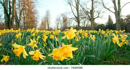 Daffodils in a park in England