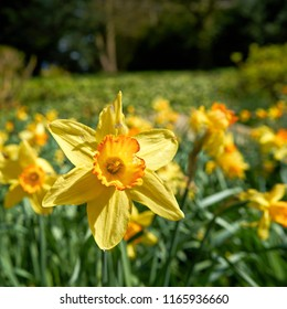 Daffodils in a park in spring