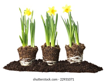 Daffodils, ready to be planted.