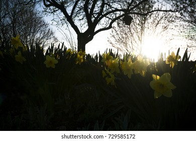 Daffodils shadowed by a brilliant sunset through a tree with a birdhouse
