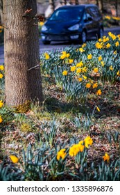 daffodils side of road car behind spring