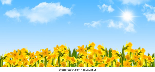 daffodils, spring flowers, blue sky, sun - panorama
