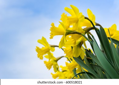 Daffodils in spring. Spring Flowers. Yellow Daffodils. Blooming Narcissus. Beautiful yellow Daffodils