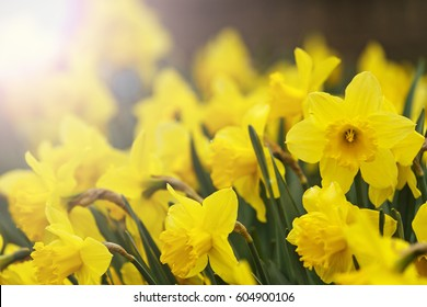 daffodils at sunset with sunny hotspot,spring flowers, yellow, concept, plants in the garden, beautiful colors