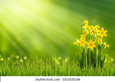 daffodils in sunshine in springtime