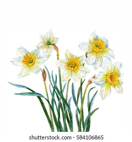 Daffodils. Watercolor.