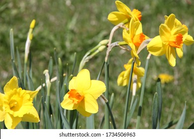 Daffodils wild in Stittsville Ontario