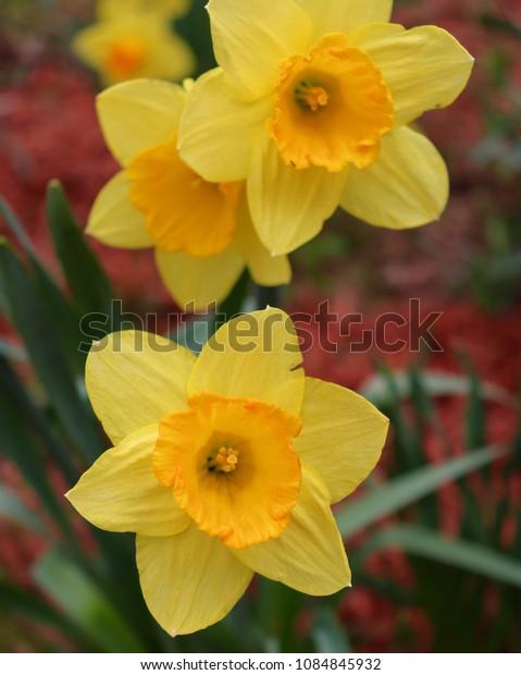 Daffodils in yellow