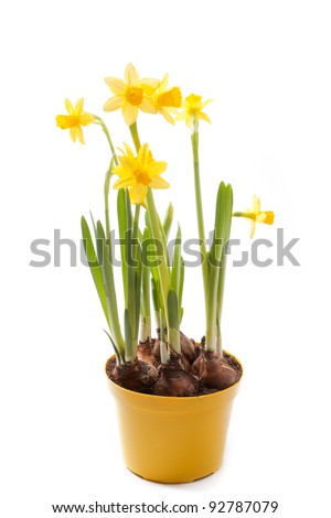 Daffodils yellow flower pot isolated on stock photo edit now daffodils in yellow flower pot isolated on white mightylinksfo