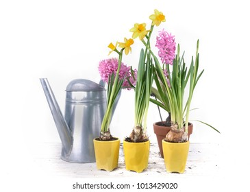 daffodils in yellow pots in front of hyacinth and watering can on white background