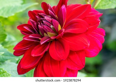 Dahlia 'Arabian Night' a red double flower summer flower tuber plant stock photo image