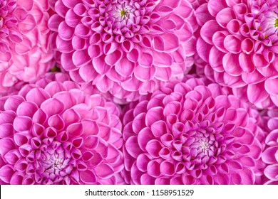 Dahlia ball-barbarry flowers background - top view on violet bright summer blooms for romantic pattern for wedding card or floral design. Beautiful fresh blossoms backdrop.