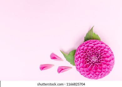 Dahlia ball-barbarry and petals with green leaves - top view on pink bright summer flower on pastel background with copy space. Romantic square template for wedding card or floral design.