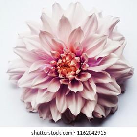 Dahlia beautiful flowers