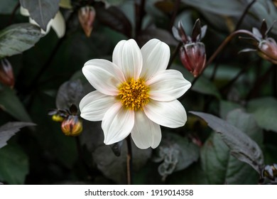 Dahlia 'Bishop of Leicester' a pink white flower summer flower tuber plant stock photo image