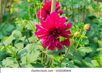 Dahlia 'Bishop of Llandaff' is a tuberous tender perennial cultivar with dark colored foliage produces a stunning contrast with its scarlet. Its sun loving plant Blooms in early spring to late summer.