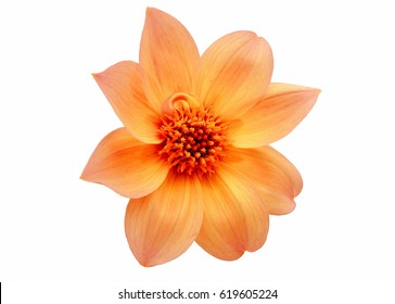 Dahlia 'Bishop of York' miscellaneous yellow single flower isolated on white background.