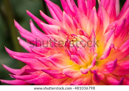dahlia-blooming-late-summer-pacific-450w