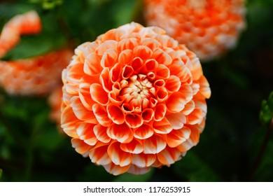 Dahlia in blossom, close up