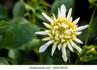 Dahlia Cactus Tall White. Double blooms, ray florets pointed, with majority revolute (rolled) over more than fifty percent of their longitudinal axis, and straight or incurved.