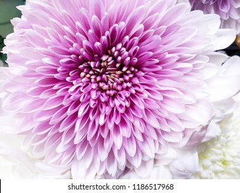 Dahlia closeup.Floral background