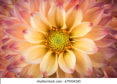 Dahlia colorful flower macro shot