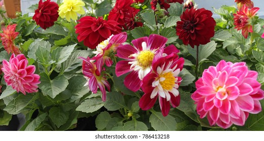 Dahlia. Colorful Dahlia flowers. Close up view of Dahlia. Floral pattern , flowers background