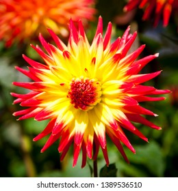 """Dahlia cultivar """"Ozzie"""" Large cultivated dahlia with yellow petals with red tips and red centre."""