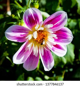 """Dahlia """"Fashion Monger"""" Colorful Collarette Dahlia in the sunshine being visited by a bee, natural pollination."""