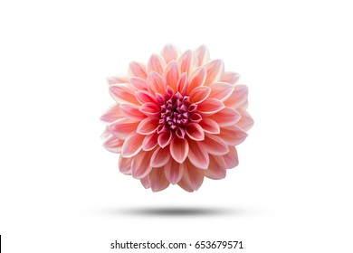 Dahlia Flower beautiful nature close-up concept ideas. Isolated on white background