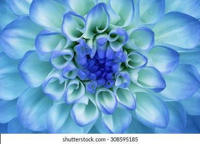 Dahlia flower closeup. Macro. Blue, cyan, aquamarine.