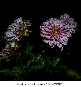 The dahlia flower colors the black of the night