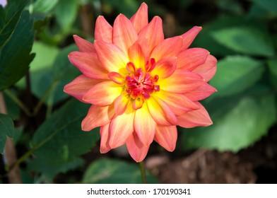 Dahlia Flower in the Garden at Doi Inthanon, Chiang Mai, Thailand