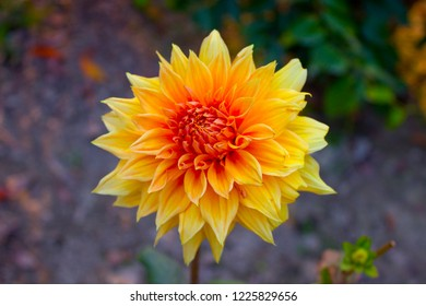 Dahlia flower in the garden. Also known as Dalia