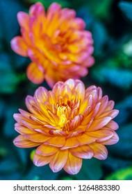 Dahlia flower is a genus of bushy, tuberous, herbaceous perennial plants,Asteraceae